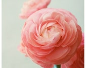 SAVE 25% Flower Photograph - Ranunculus - Fandango -  Spring - Original Fine Art Photograph - Pink - Petals - Bloom - Floral - Botanical - F