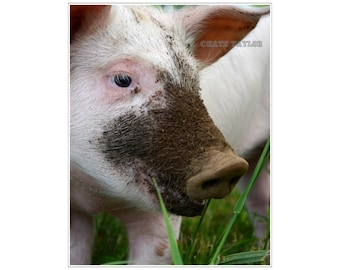 Happy as a Pig, Animal Photography