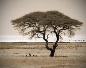 Custom Order for PIP - 75x50cm (30x20 inch) photographic print of Savannah Tree with Lions in SEPIA tone