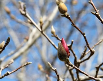 Magnolia Blossom, Photograph Print Flower Pink Tree Branches Spring Peaceful Zen pink blue grey