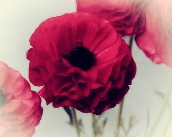 Dark Red Ranunculus Flower Photography, Floral Art Print, Flower Decor, Dramatic Wall Art