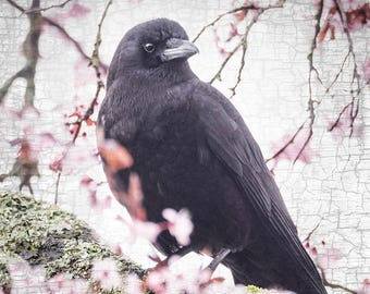Crow in the Pink, in the Plum Blossom Tree - Signed Fine Art Photographic Collage by June Hunter - Crow Art