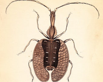 Antique Vintage Calosoma Sycophanta Beetle Print . plate 3 . original coleoptera engraving art dated 1835 vol II . Reduced price