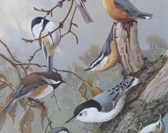 Nuthatches, Chickadees, Titmice, 1968 Vintage Book Plate, Book Page, Bird Print, North American Species