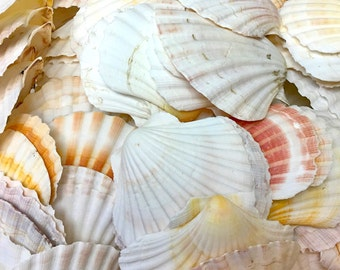 "Seashells - S/3 - Large Irish Cup Shells  - 3.5"" - 4"" - craft shells sea shells wedding beach decor coastal style"