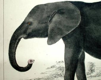 1850s ANTIQUE ELEPHANT PRINT, hand colored engraving, young African elephant,rare fine art Europe,ivory,warm gray,black,amber,pachyderm,pink