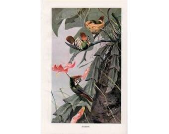1900 HUMMINGBIRDS ANTIQUE LITHOGRAPH original antique bird print