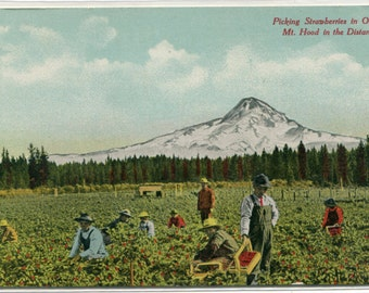 Picking Strawberries Farming Mt Hood Oregon 1910s postcard