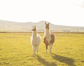 Golden Llama Photograph | Llama Print | Animal Wall Art