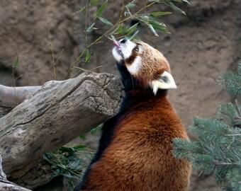 Red Panda - 5 x 7