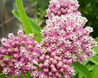 20 seeds, Common Milkweed Seeds, Save Monarch Butterflies, Tall Plant, Pink Flowers