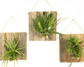 Free Shipping - Set of Three LARGE FORM Air Plant and Barn Wood Grab Bag airplants