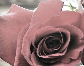 Romantic Rose Photograph