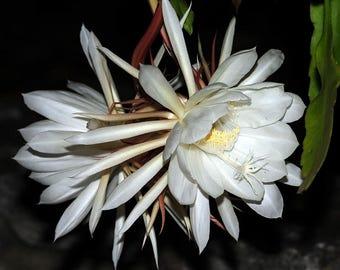 Night Blooming Cereus, Hylocereus triangularis, 20 seeds, Dragon Fruit, fragrant blooms, luscious fruit, easy zones 9 to 11, hanging plant