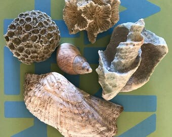 Five Natural seashell finds, Florida tree snail shell, Caribbean vase partial shell, Turkey wing shell, Gulf ball coral, coral