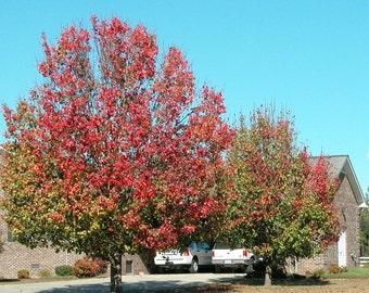 Bradford Pear Tree Seeds, Pyrus calleryana - 25 Seeds