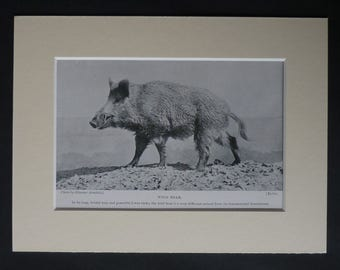 1901 Antique Wild Boar Print, Wildlife Gift, Natural History Decor, Available Framed, Nature Art, Victorian Animal Picture, Old Pig Wall Art