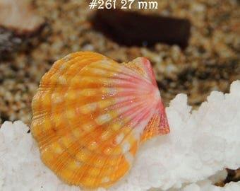 27 mm Hawaiian Sunrise shell #261