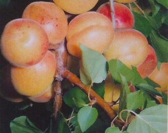 4'-5' live MOORPARK APRICOT TREE Plant Live Fruit Trees Grow Your Own Healthy Fresh Natural Apricots New Home Garden Best Orchard Plants Now