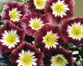 AIPCO) ENSIGN RED Convolulus~Seeds!~~~~Brilliant Magenta!!