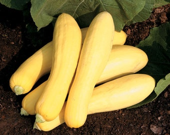VSQS)~STRAIGHTNECK EARLY Yellow Summer Squash~Seeds~~~~~~Heirloom!