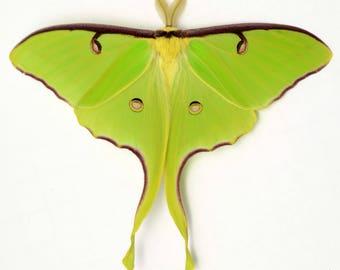 The best spring brood LUNA moth unmounted saturnid moth specimens  Actias moon moth READ