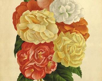 Begonia art print vintage botanical art print flower art print garden wall art home decor wall art French art antique prints Victorian art