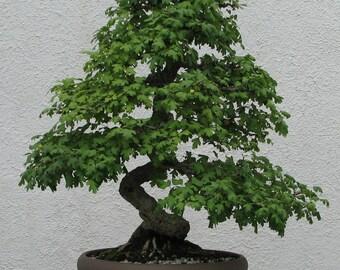 BONSAI - English hawthorn