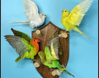 Taxidermy birds parrot Budgie  mounted on wooden base .4 birds /sets.hanging wall free shipping