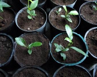 Lemon Tree Seedling