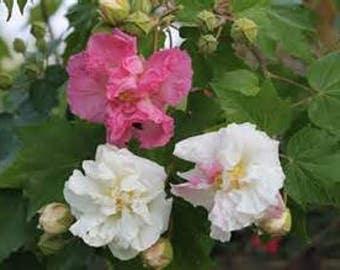 Confederate Rose Hibiscus mutabilis