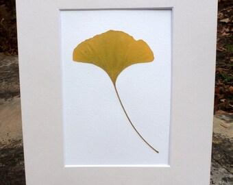 FREE SHIP  Real Pressed Ginkgo Leaf Botanical Art Herbarium Specimen 5x7 OR 8x10