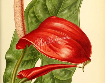 flowers-29121 - anthurium crombezianum red flower digital illustration vintage picture image high resolution public domain page book paper