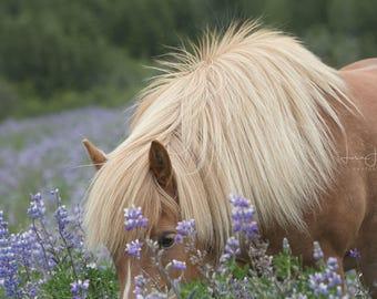 Iceland Horse Lupin I - Horse Photography (Equine Fine Art Horse Print)