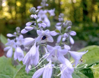 Digital Photo Download, Hosta Flower Photo, Digital Photography, Instant Download, Floral Photo, Purple Flower, Nature, Decor, Printable Art