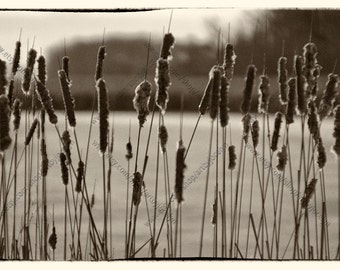 Cattails in Marsh Sepia Photo Print, Bulrush Landscape Photo, Yellow and Sepia Fine Art Archival Digital Photo Print, Nature Wall Art