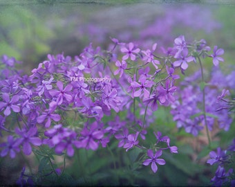 Phlox - Sweet William - Woodland Phlox - Wildflower - Wildflowers - Wild - Purple Phlox - Fine Art Photography