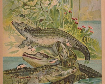 1901 Animal Print - Alligator Crocodile Color Illustration from The Child's History of Animals / Antique book page for Framing