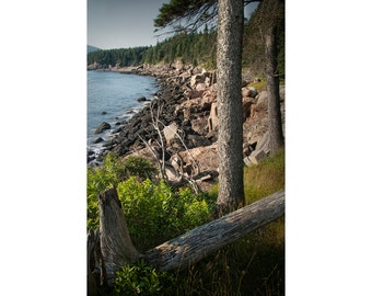 Pine Tree Trunks on Rocky Shoreline on Mount Desert Island in Maine's Acadia National Park No.180 - A Fine Art Landscape Photograph