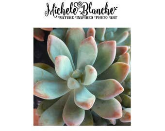Sedum Photography, Succulent Photo, Pastel Green Sedum Print,  Nature Photo Sedum Art, Dining Room Art, Kitchen Art, Organic Plant Print