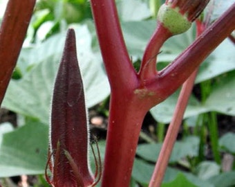 VikkiVines~ RED BURGUNDY OKRA ~ Unique Beautiful Edible ~ Cottage Kitchen Garden ~ 25 Seeds!