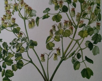 Early meadow-rue, antique botanical litho print, 1954