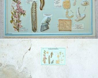 Vintage Biology Chart, School Chart, Parasitism Illustration, Educational Diagram,Small Wall Deco, Wall Hanging, Plastic Board, Retro Print