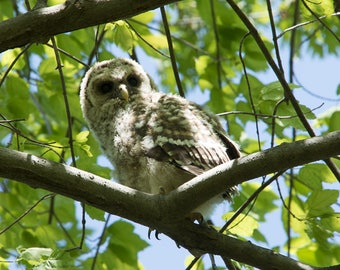 Baby Barred Owl photographic print