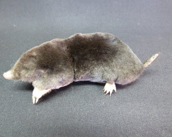 TAXIDERMY MOLE FREESTANDING  (No. 23)  16cm long approx. including tail.