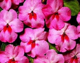 1,000 Bulk Impatiens seeds Impatiens Cascade Beauty Cherry Splash
