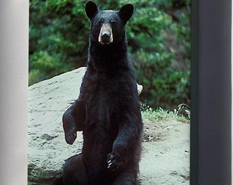 Canvas 16x24; American Black Bear