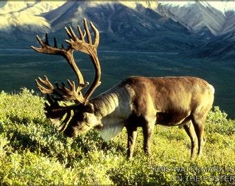 16x24 Poster; Reindeer (Rangifer Tarandus), Also Known As The Caribou