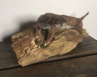 Real taxidermy mounted weasel