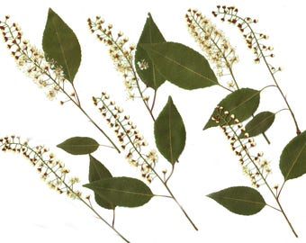 Bird cherry(14pcs).Pressed Flowers.Spring flowers. Real flowers. Herbarium. White.Ocher. Green. For Oshibana, Cards, Scrapbooking, Decor